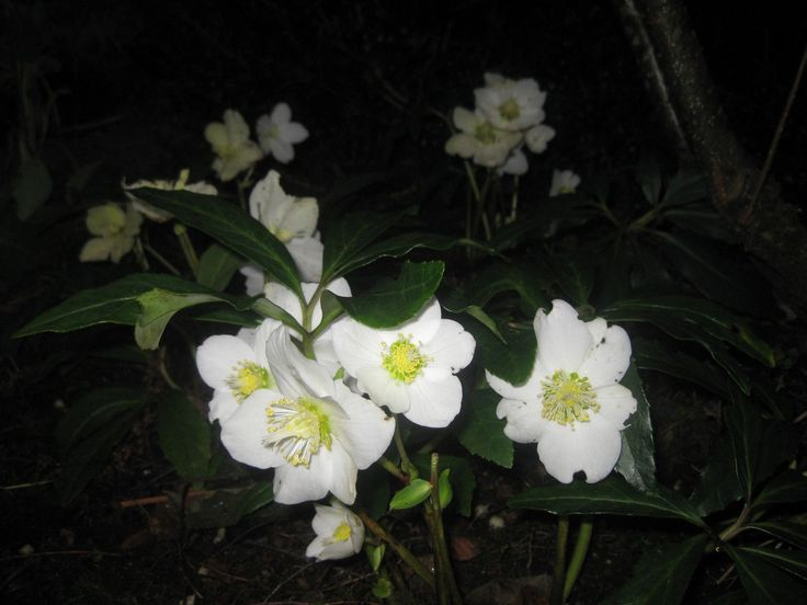 Helleborus niger - the Christmas rose - Hoellesli. December 24th 2015