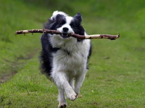 border collie | Галерея собак породы Бордер-Колли ...