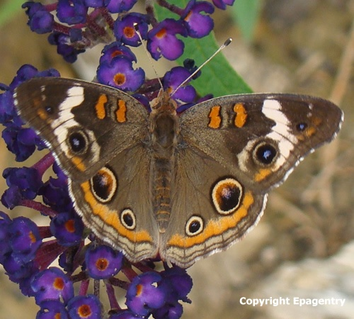17 Best Images About Texas Butterfly Amp Hummingbird