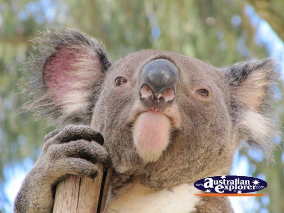 Have to say that one of my favourite animals in Australia is the Koala, so chilled !!