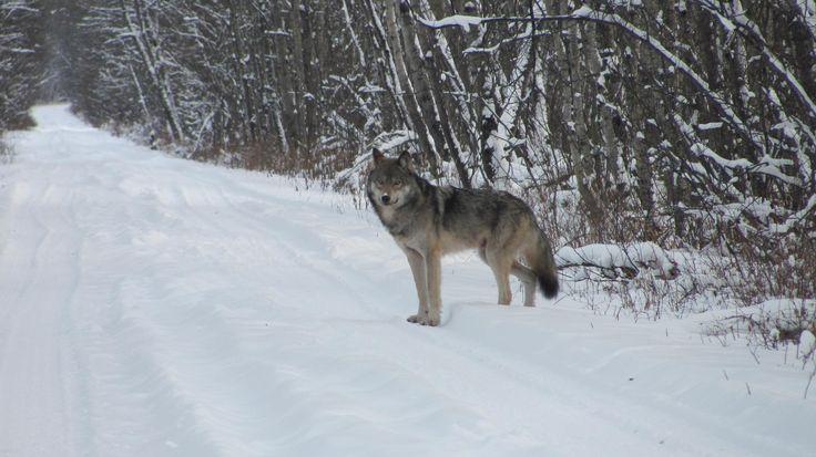 Wolf in the winter in Big River #exploresask #westside #waskesiuwilderness @waskesiuregion