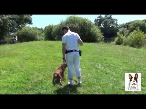 Comment apprendre la marche au pied sans laisse à son chien ? - YouTube