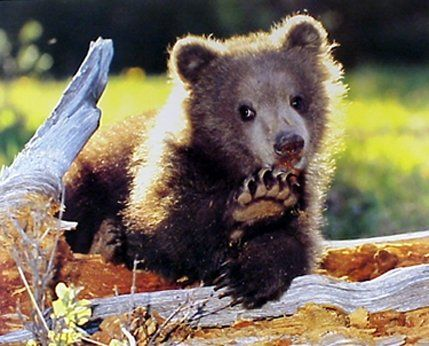 This lovely wall poster depicts the image of a very cute Grizzly cub is perfect for sprucing up any dull space and enhances the look of any room. This wall poster makes a great gift for someone who is a horse lover. This animal inspired poster will be a great addition to your home. So what are you waiting for, grab this wall poster which offers you both quality and affordability as well.