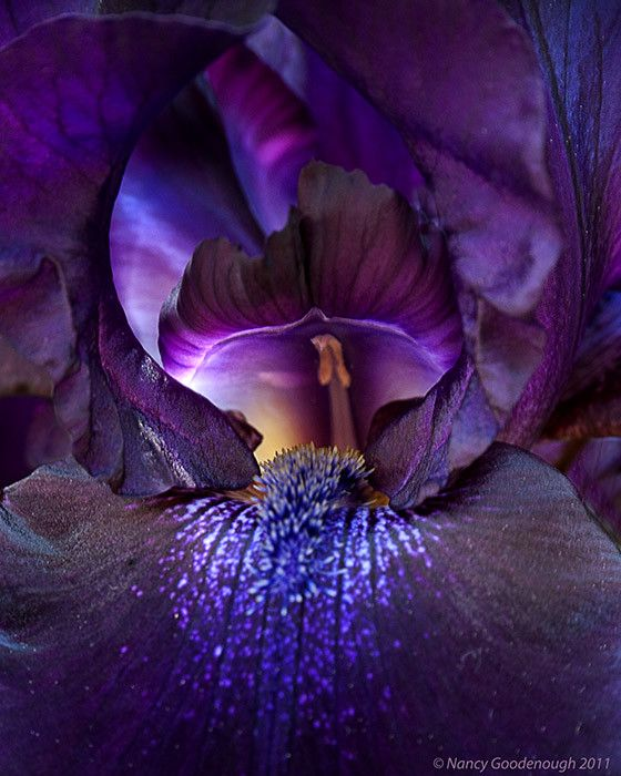 purple irises close up