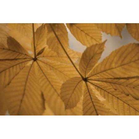 Chestnut Leaves Duet II Brown Canvas Art - Vitaly Geyman (12 x 18)