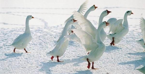 Ha Márton napján a libák korcsolyáznak, akkor karácsonykor bízvást bőrig áznak!