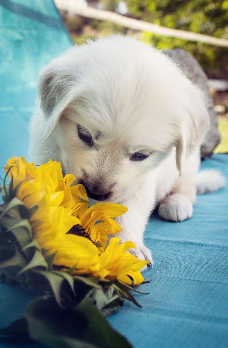 a cream golden retriever puppy smelling a sunflower.