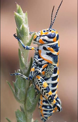 grasshopper habitat needs