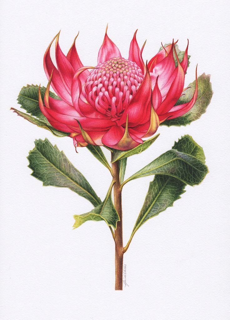 Waratah Botanical Illustration ~ Australian Geographic Magazine Issue 130-0
