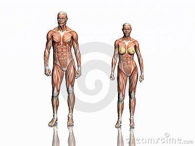 Anatomía del hombre y de la mujer: músculos.                                                                                                                                                                                 Más