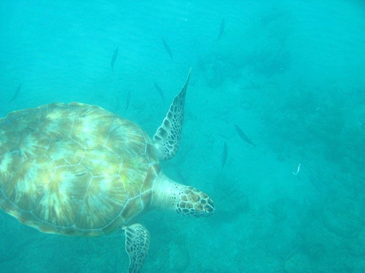 Swimming with turtles at Blue Monkey Beach in Barbados 2008 cruise