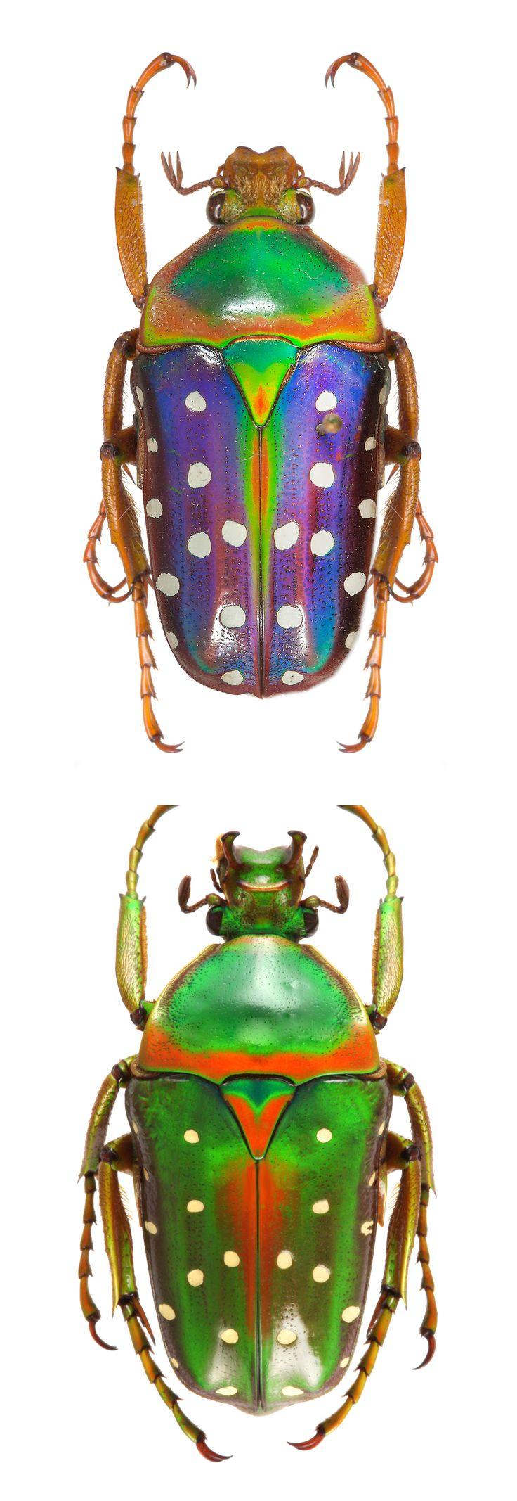 Stephanorrhina buttata - spotted flower beetle - CETONIIDAE -