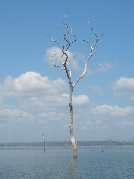 Here's a mostly underwater tree in Lake Bayano.