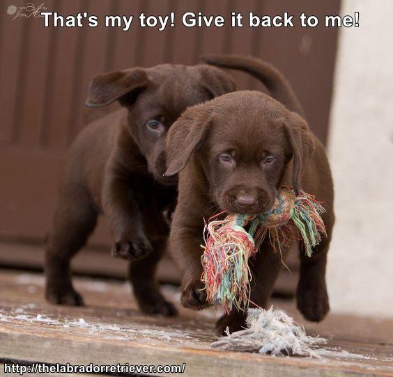 6afcbff7777fe6099d2cffa84fad10c8 chocolate labrador puppies chocolate labs 143 best labrador memes images on pinterest labrador dogs,Chocolate Lab Meme