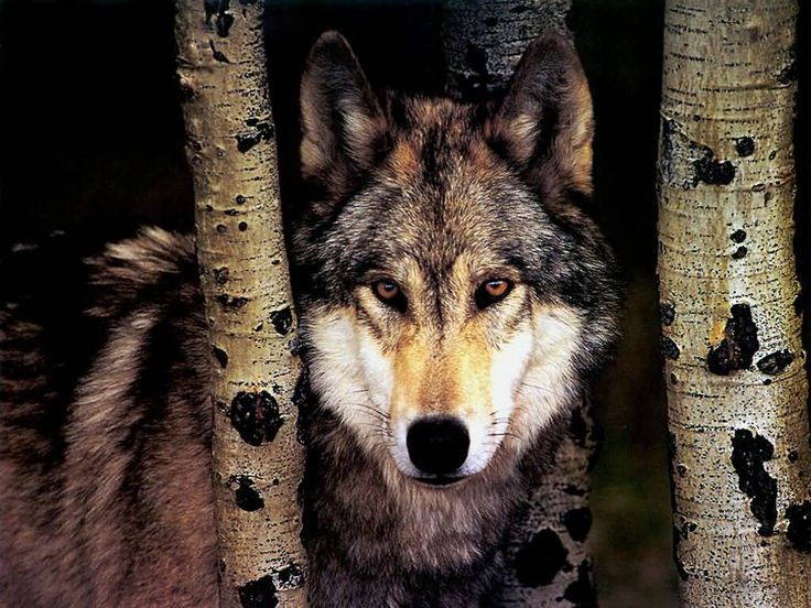 on All About Wolves  http://www.all-about-wolves.com/wp-content/gallery/free-wolf-photos-and-wallpaper/wolf_84_big.jpg