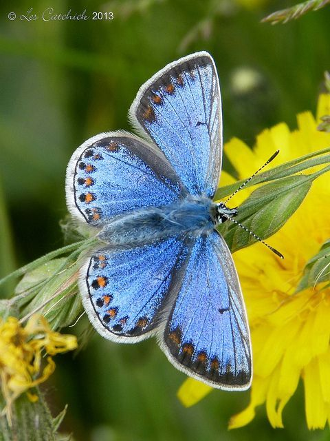 Common Blue Butterfly Get Informed with Worthy Readings. http://www.dailynewsmag.com
