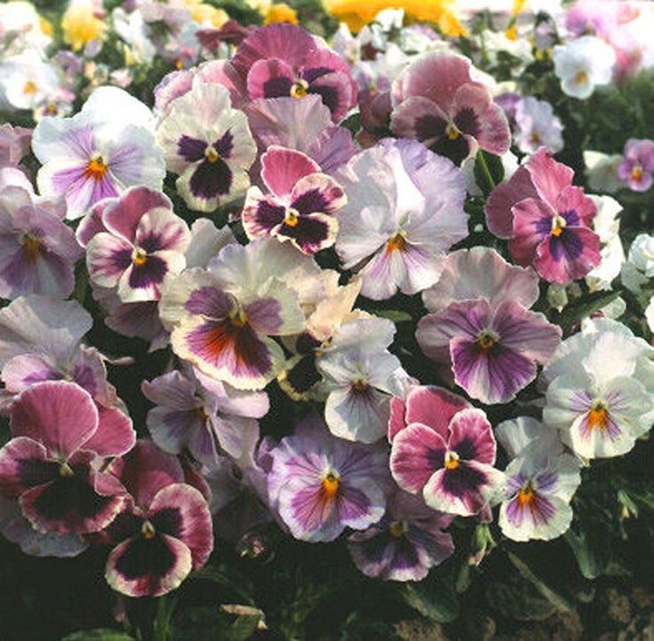 500 Pansy Seeds Character Spring Song Mix Buy Flower Seeds Online