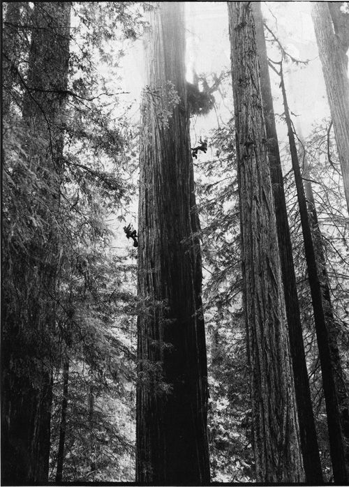 The coolest article I have ever read:  Climbing the Redwoods - Richard Preston