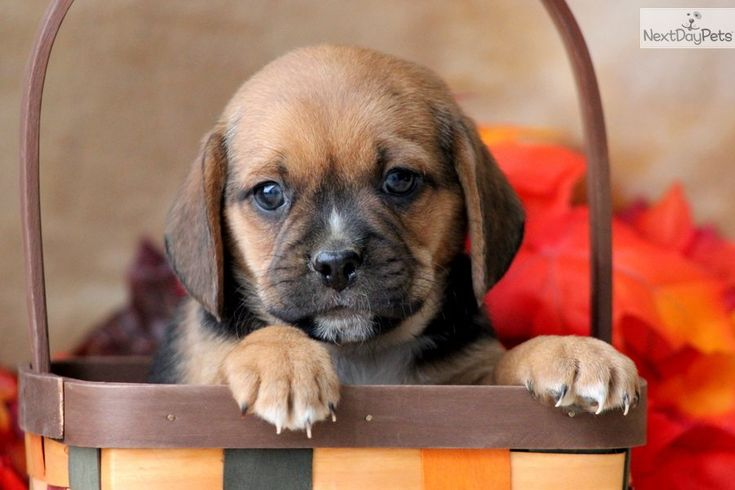 Puggle Puppies for Sale | ... Presley a cute Puggle puppy for sale for $550. Presley - Puggle Male