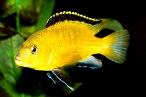 yellow cichlid with black fin | Caring for and Breeding your Electric Yellow Lab Cichlids