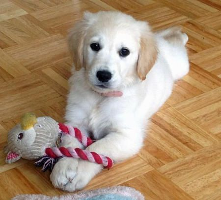 Zelda the Golden Retriever puppy - what a beauty!
