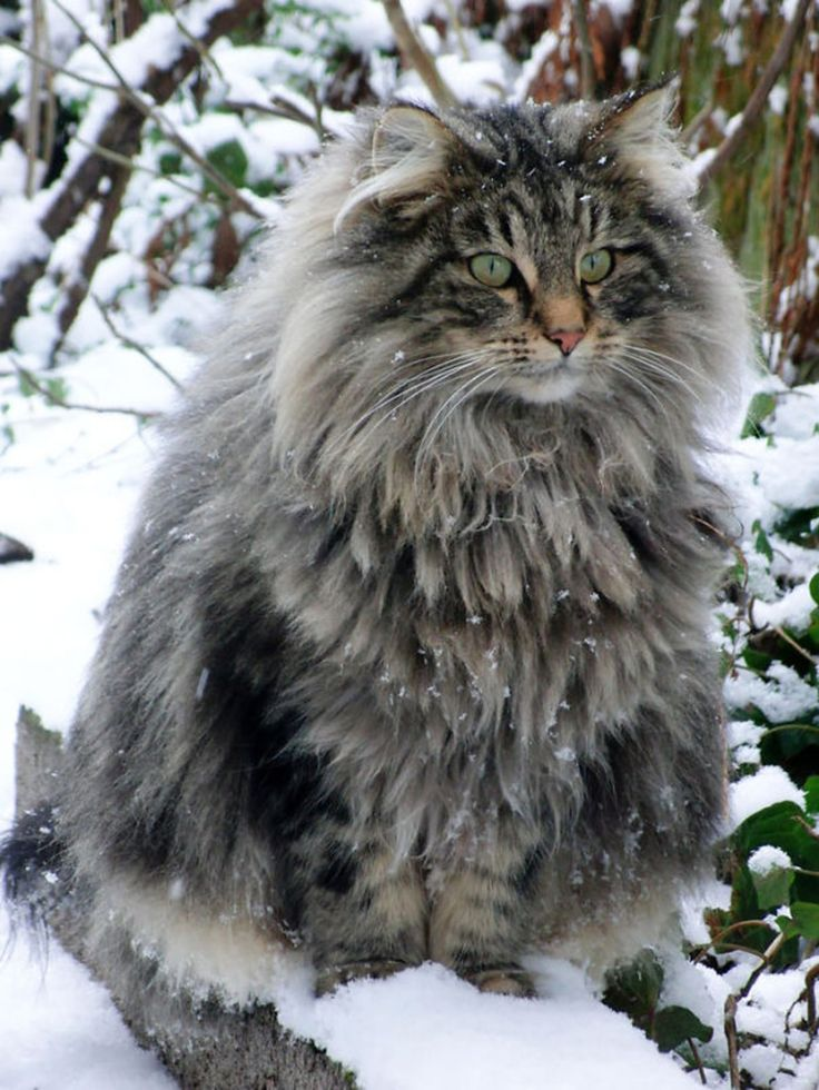 The Siberian Cat – Süße Tierchen