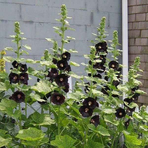 Tall Hollyhock Black Flower Alcea Rosea Nigra: Rose Trémière Noire, Alcea Rosea Nigra