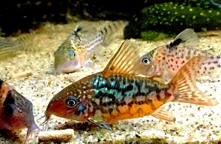 Corydoras C 5, pantalanensis One of my absolute favorite fish. A joy to watch.                                                                                                                                                                                 More