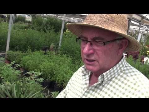 ▶ Kalanchoe, un remedio natural contra el cáncer (con Josep Pàmies) - YouTube