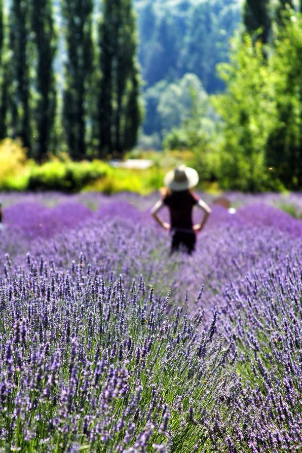 Woodinville Lavender, King County, Washington - This is a wonderful...