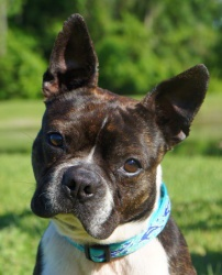 JELLY BEAN is an adoptable Boston Terrier Dog in North Augusta, SC. You get Jelly Beans in your Easter basket and that's what we got at Easter this year, Jelly Bean. He was living his life on a chain ...BTRSC, North Augusta, SC     •(803) 279-8069