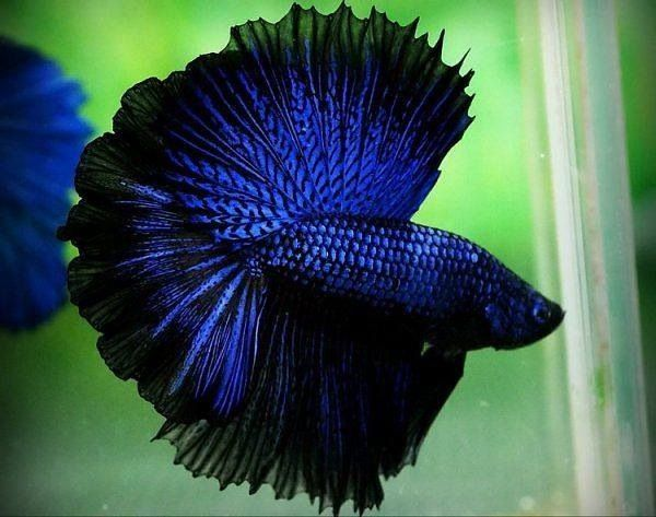 Blue halfmoon betta fish - photo#5