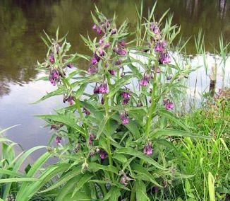 Jednou z byliniek, ktorá je dostupná aj počas chladnejšieho obdobia, je kostihoj lekársky. A nie je to ani zďaleka obyčajná rastlina. Kostihoj je medzi bylinkármi považovaný za jedno z najúčinnejších...