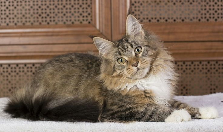 Disney Estate Pearls*RU female https://pawpeds.com/db/?a=p&ids=3:1240247;2:887066&g=4&p=mco&date=iso&o=ajgrep http://estatecoons.ru/ AVAILABLE