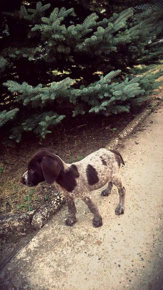 german pointer  - photo by Lilaló