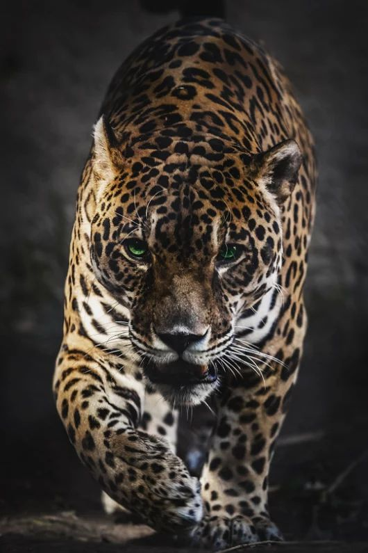 крутые картинки диких кошек нижних чинов храбрый