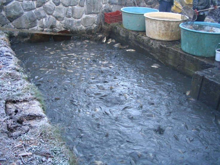 The homestead technique of fish farming is growing rapidly in the developing countries and is a great way to ensure a healthy fish diet for millions who need it.