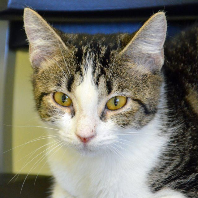 JLo is a 4 month old female Domestic Short Hair who is not quite as vocal as her namesake but just as pretty. JLo has been spayed, vaccinated and microchipped. Come on in and meet Jenny from the block! Her adoption fee is only $40.  Jenny can be seen at Pet Food Warehouse, located at 1830 61st Avenue N. St. Pete, FL 33714. (727) 521-6191, www.petfoodstpete.com.