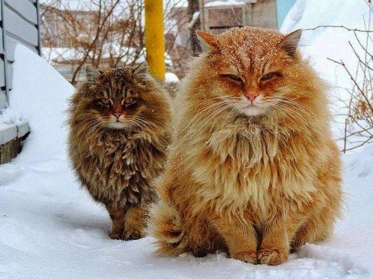 Norwegian Forest Cat For Sale Norwegian Forest Cat Siberian Cat Forest Cat