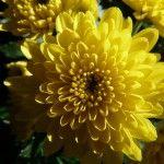 Chrysant, geboortebloem van de maand november