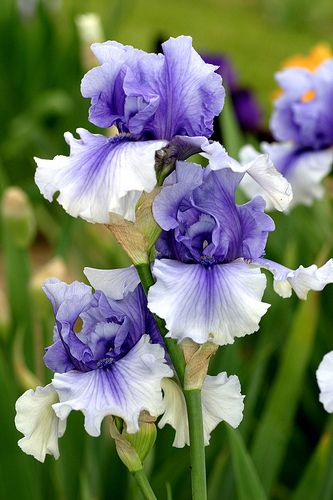 looks good in other pictures too Iris 'Electric Shock'