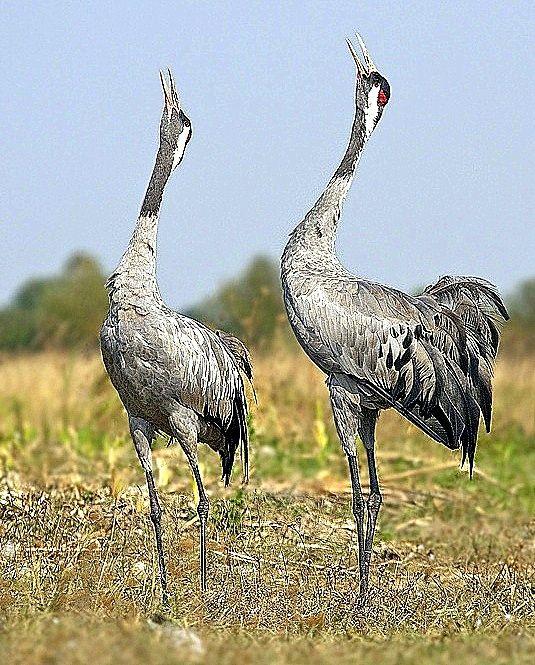 Hortobagy National Park - Cranes birds - Darumadar Hungary