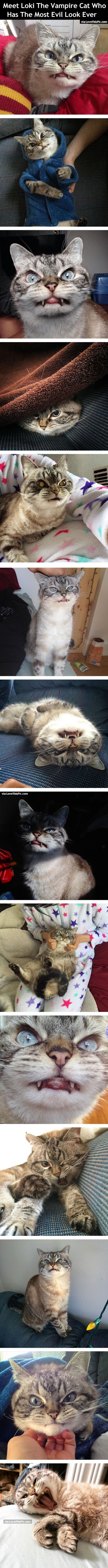 Meet Loki The Vampire Cat Who Has The Most Evil Look Ever cute animals cat cats adorable animal kittens pets kitten funny pictures funny animals funny cats