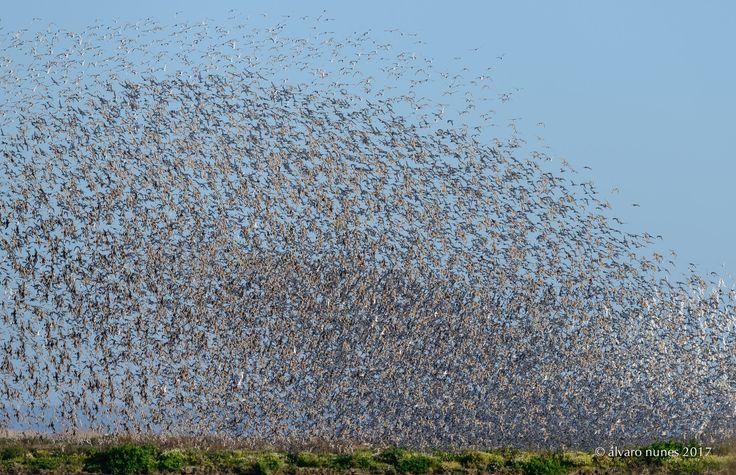 Maçarico-de-bico-direito | Black-tailed godwit | Limosa limosa - Lezíria Grande de Vila Franca de Xira Portugal