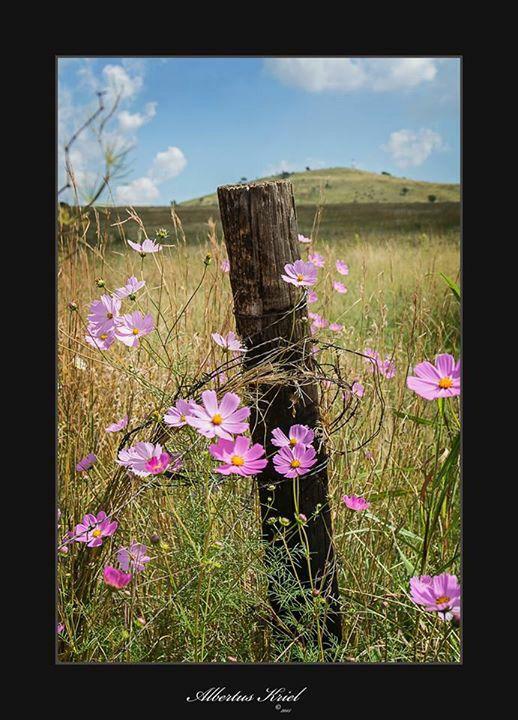 Cosmos flowers in field.