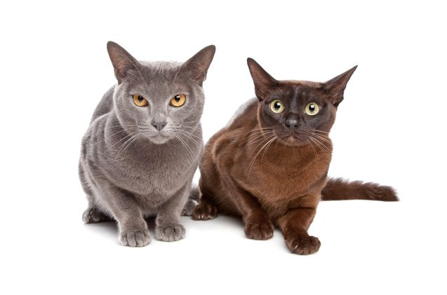 The loving and affectionate European Burmese exhibits great loyalty to its humans. Read more: http://www.petguide.com/breeds/cat/european-burmese/