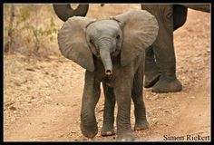 Baby elephant welcomes you to Shiduli Lodge by Simon Riekert