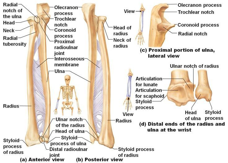 The radius connects to many muscles, such as  the biceps, supinator, flexor digitorum superficialis, flexor pollicis longus muscles, extensor ossis metacarpi pollicis, extensor primi internodii pollicis and the pronator teres muscles   Furthermore, the radius is found on each arm thus contributing a total of two bones to the human body skeleton.