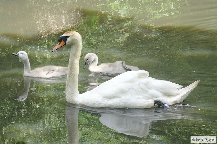 Swan and 2 Cygnets at Stover Country Park