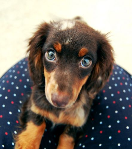 this is like the definition of puppy eyes...chocolate dapple dachshund :)